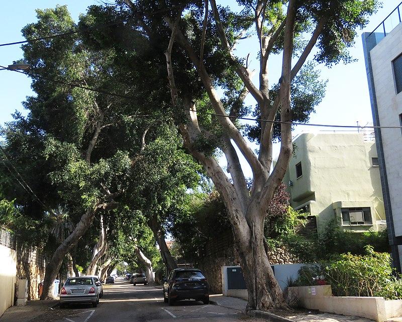 """הרצליה עצי הפיקוס ר""""ח אושיסקין"""