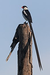 Pin-tailed whydah (Vidua macroura) breeding male.jpg