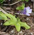 Pinguicula vulgaris var. macroceras (flower s6).jpg