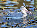 Pink-backed Pelican RWD4.jpg