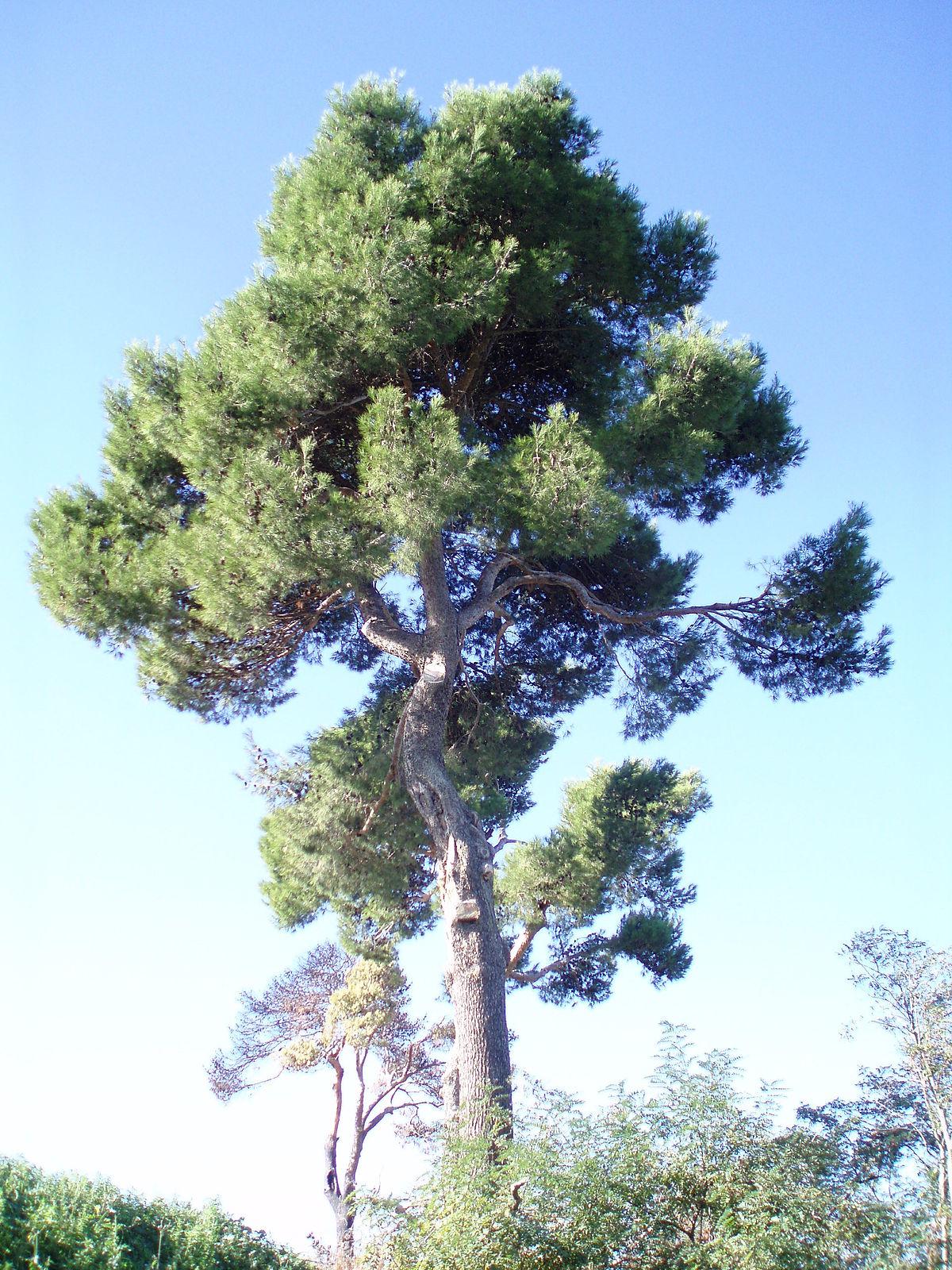 Pinus halepensis - Wikipedia, la enciclopedia libre