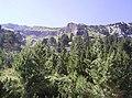 Pinus mugo Pinus peuce Pirin 1.jpg