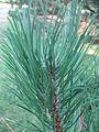 Pinus nigra laricio leaves 01 by Line1.JPG