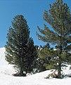 Pinus peuce Todorin.jpg