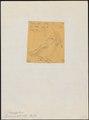 Pipra mentalis - 1856 - Print - Iconographia Zoologica - Special Collections University of Amsterdam - UBA01 IZ16600213.tif