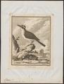 Pitangus sulphuratus - 1700-1880 - Print - Iconographia Zoologica - Special Collections University of Amsterdam - UBA01 IZ16500313.tif