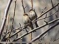 Plain Mountain Finch (Leucosticte nemoricola) (15893919552).jpg