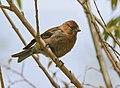 Plain Mountain Finch (Leucosticte nemoricola) (48332465132).jpg