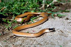 Plains black headed snake.jpg