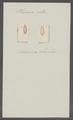 Planaria ruba - - Print - Iconographia Zoologica - Special Collections University of Amsterdam - UBAINV0274 105 09 0018.tif