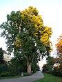 Platane-Ahornblättrige Platane (Platanus x hybrida (acerifolia))