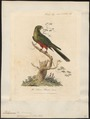 Platycercus cyanopygius - 1789 - Print - Iconographia Zoologica - Special Collections University of Amsterdam - UBA01 IZ18500017.tif