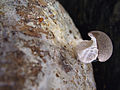 Pleurotus eryngii1.jpg