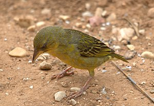 Cape weaver - Female in Addo Elephant National Park, South Africa