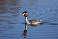 Podiceps cristatus -Rutland Water, Rutland, England-8.jpg
