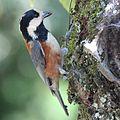 Poecile varius on tree 2.jpg