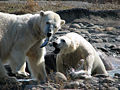 Polar bears at Huntington Woods.jpg