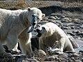 Polar bears at Huntington Woods.jpg