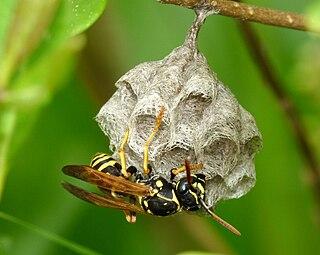 <i>Polistes nimpha</i> species of insect