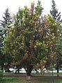 Poltava European (Frunze) Str. 25 Oak in Honour of L.Ubyivovk (DSCF4447).jpg