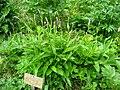 Polygonum bistorta - Berlin Botanical Garden - IMG 8490.JPG