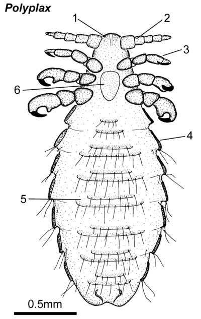 Polyplax-female ventral.png
