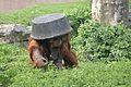 Pongo abelii at the Philadelphia Zoo 005.jpg