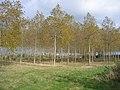 Poplar plantation, Silsoe, Beds - geograph.org.uk - 84453.jpg