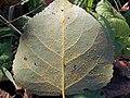 Populus, Melampsora larici-populina uredosori (1).jpg