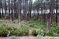 Portugal-Centro-42-noerdlich von Nazare-Harzgewinnung-2011-gje.jpg