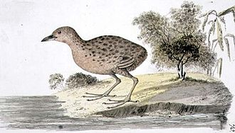 Hawaiian rail - Specimen painted by William Ellis while accompanying Captain James Cook on his third voyage (1776–78)