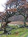 Posing sheep - geograph.org.uk - 1049969.jpg