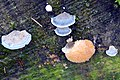 Postia Caesia or Spongiporus Caesius (GB=Conifer Blueing Bracket, D= Blauender Saftporling, F= Polypore bleuté des conifères , NL= Blauwe kaaszwam) blue spores and causes white rot, with a Oligoporus ptychogaster (Boo - panoramio.jpg