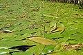 Potamogeton nodosus kz11.jpg