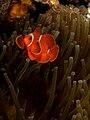 Premnas biaculeatus (Spinecheek anemonefish).jpg