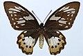 Priam's Birdwing (Ornithoptera priamus poseidon) (8360925933).jpg