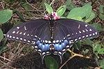 Pristine Preto Swallowtail.jpg