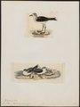 Procellaria fregata - 1700-1880 - Print - Iconographia Zoologica - Special Collections University of Amsterdam - UBA01 IZ17900060.tif