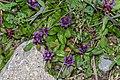 Prunella vulgaris in Avoriaz (1).jpg