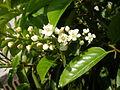 Prunus lusitanica 2c.JPG