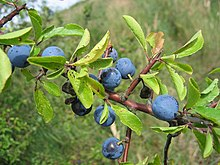 Prunus spinosa frucht.jpeg