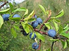 240px prunus spinosa frucht
