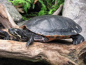 Description de l'image Pseudemys scripta scripta - Yellow-bellied slider 02.jpg.