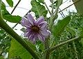 Psianka podłużna. (Solanum melongena). 01.jpg