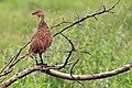 Pternistis leucoscepus -Tarangire National Park, Tanzania-8.jpg