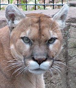 Preguntarse lector Derritiendo  Puma concolor - Wikipedia, la enciclopedia libre