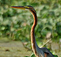 Purple Heron (Ardea purpurea) in Kolleru, AP W3 IMG 4052.jpg
