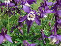 Purple columbines-5-5-2008 1-50-19 PM 0020.jpg