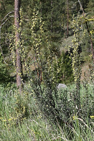 Purshia tridentata - Purshia tridentata, Wenas Wildlife Area