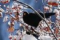 Pyrrhocorax graculus 091226-3.jpg
